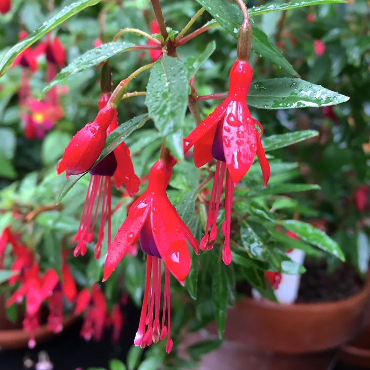Fuchsia, The Watch House, August 2015