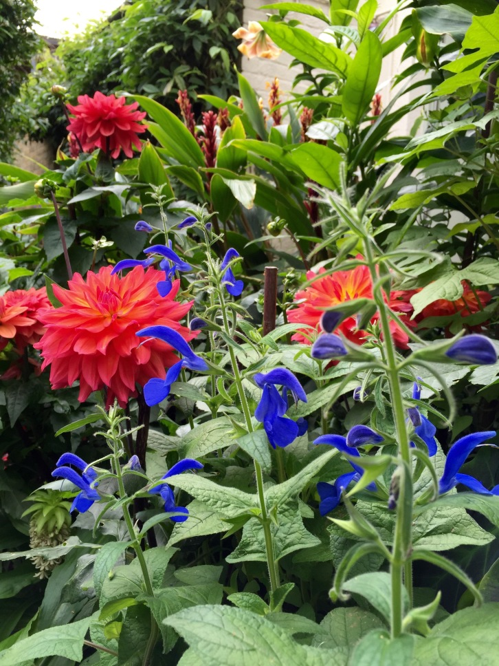 Dahlia 'Firepot', Salvia patens, The Watch House, August 2015