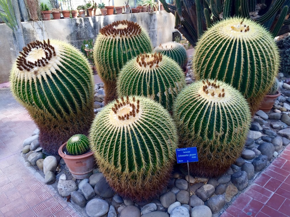 Echinocactus grusonii is also known as Mother-in-Law's cushion