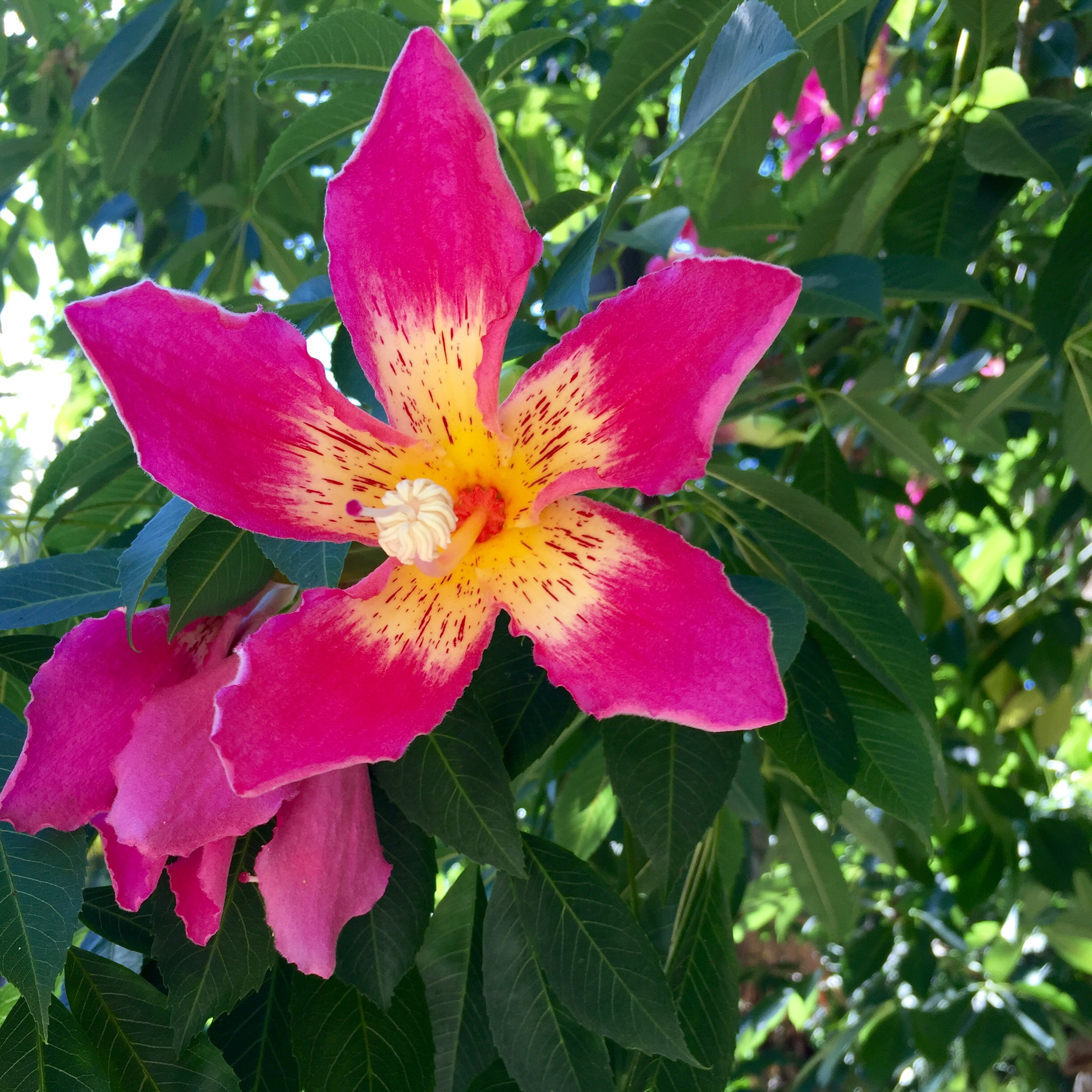 Daily Flower Candy Ceiba Speciosa The Frustrated Gardener