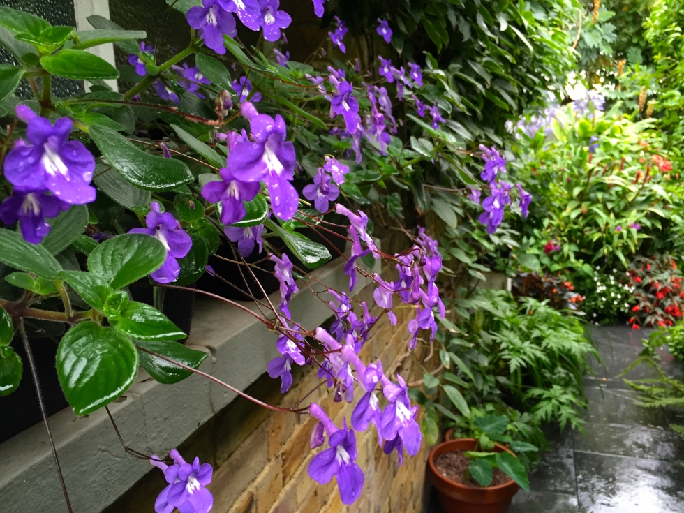 Streptocarpus saxorum, The Watch House, August 2015