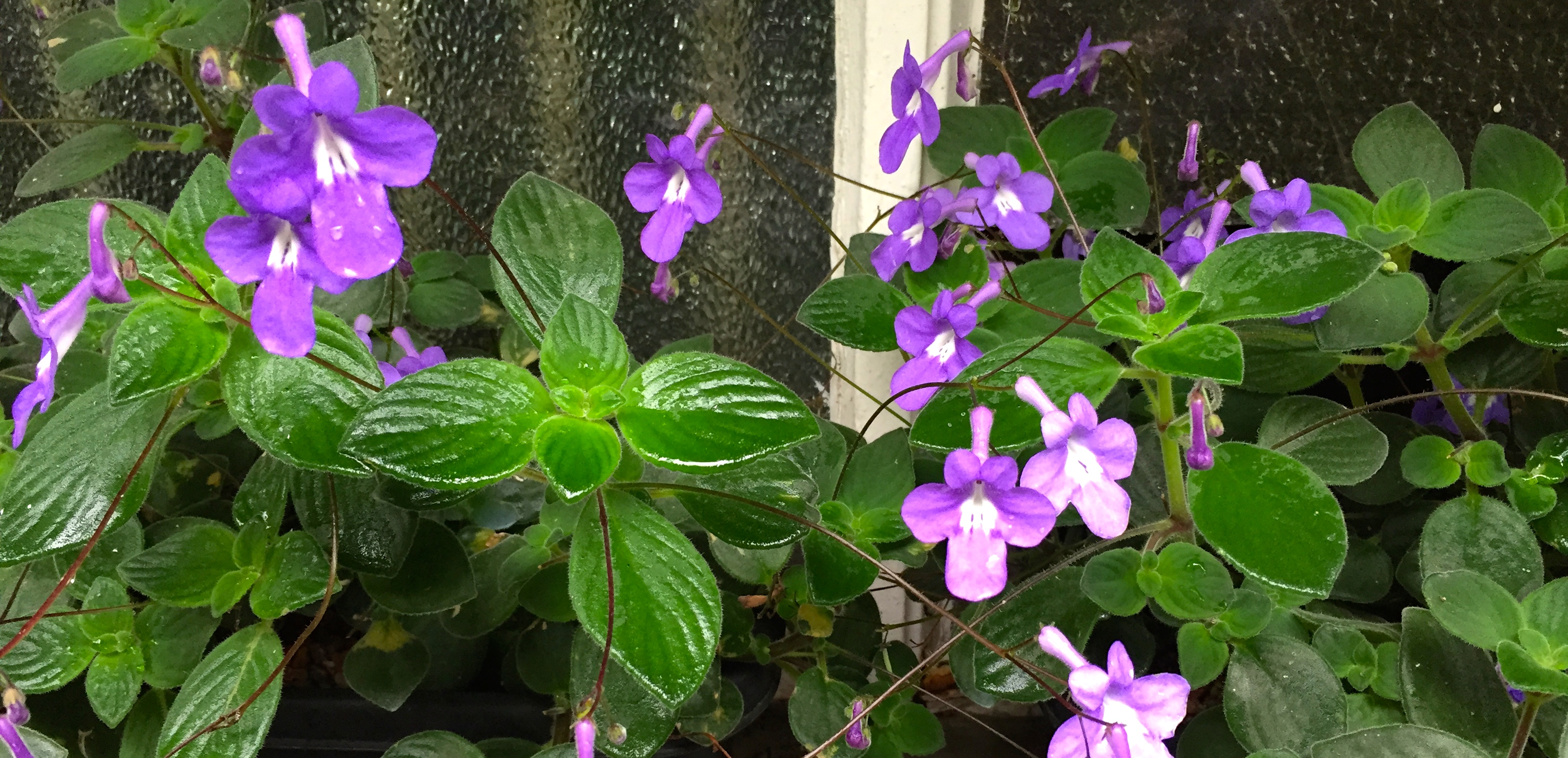 Daily Flower Candy Streptocarpus Saxorum The Frustrated