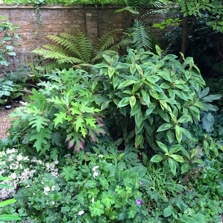 The island bed in our London garden is a mass of interesting foliage plants, from Persicaria virginiana 'Compton's Form' to Hydrangea quercifolia.