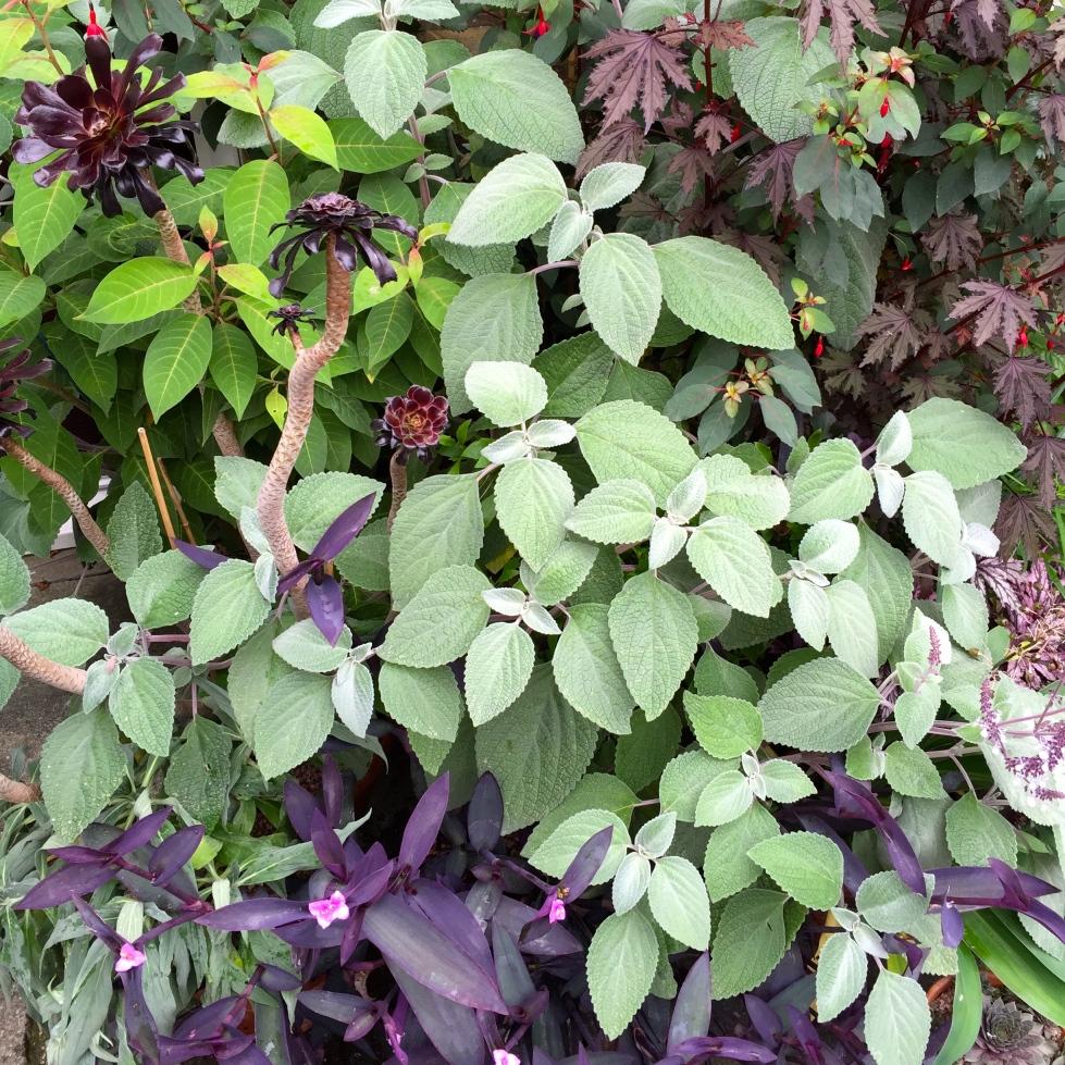 Aeonium 'Zwartkop', Plectranthus argentea, Tradescantia 'Purple Sabre', Cestrum fasciculatum 'Newellii' and Hibiscus 'Mahogany Splendour'