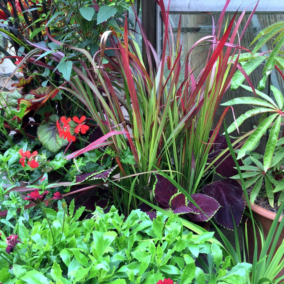 Begonia luxurians, Imperata cylindrica 'Red Baron', coleus and begonias in our new coastal garden