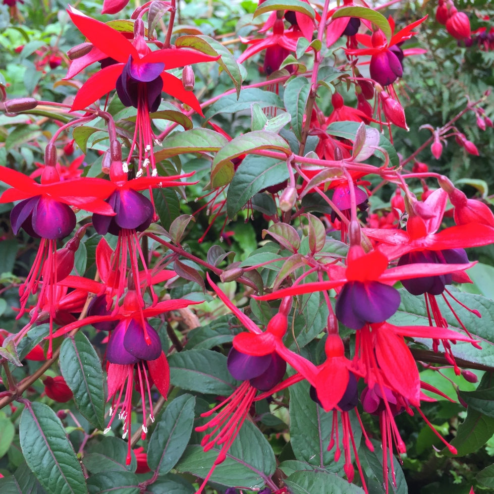 A fuchsia that we inherited seems to have designs on world domination - it's already 8ft across