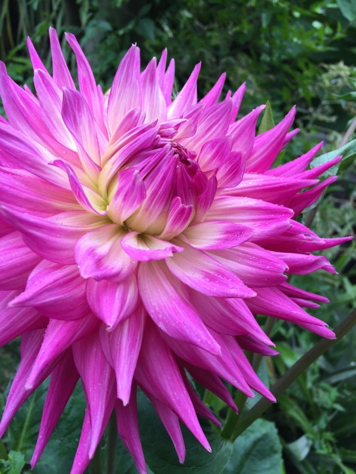 An unknown, but rather splendid dahlia