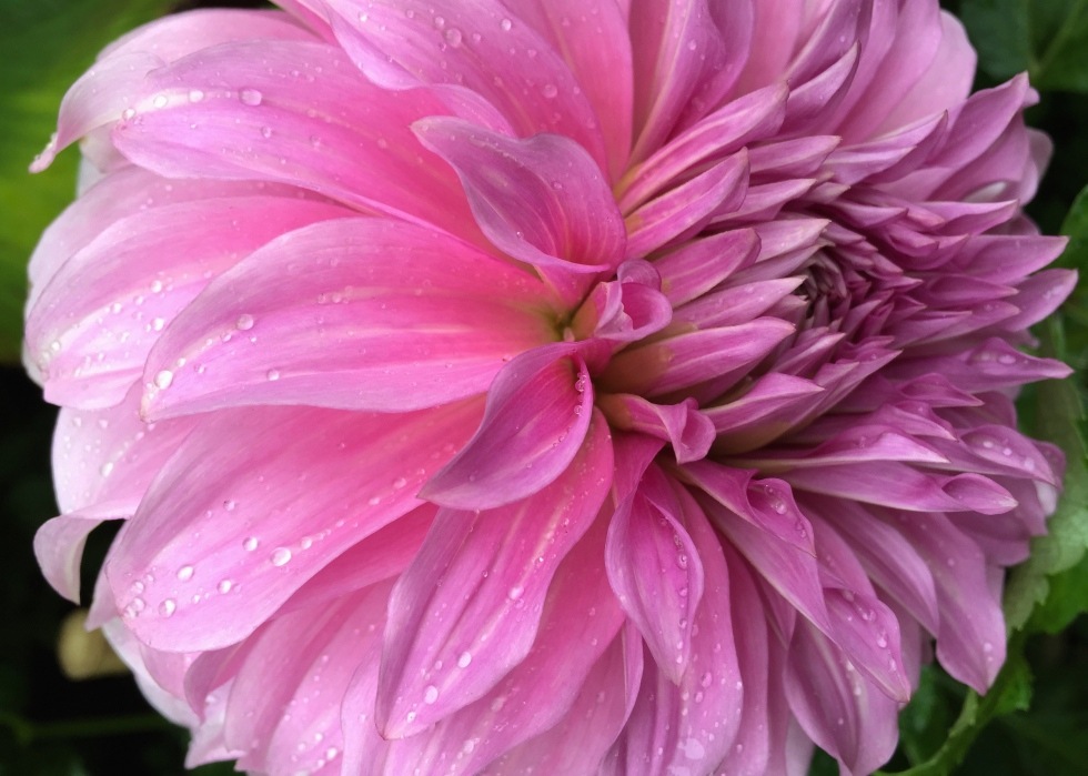 Dahlia 'Babylon Lilac'