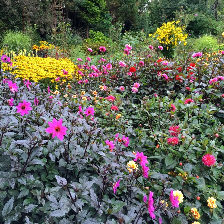 Dark leaved dahlias need sunshine to bring out their vibrant shades