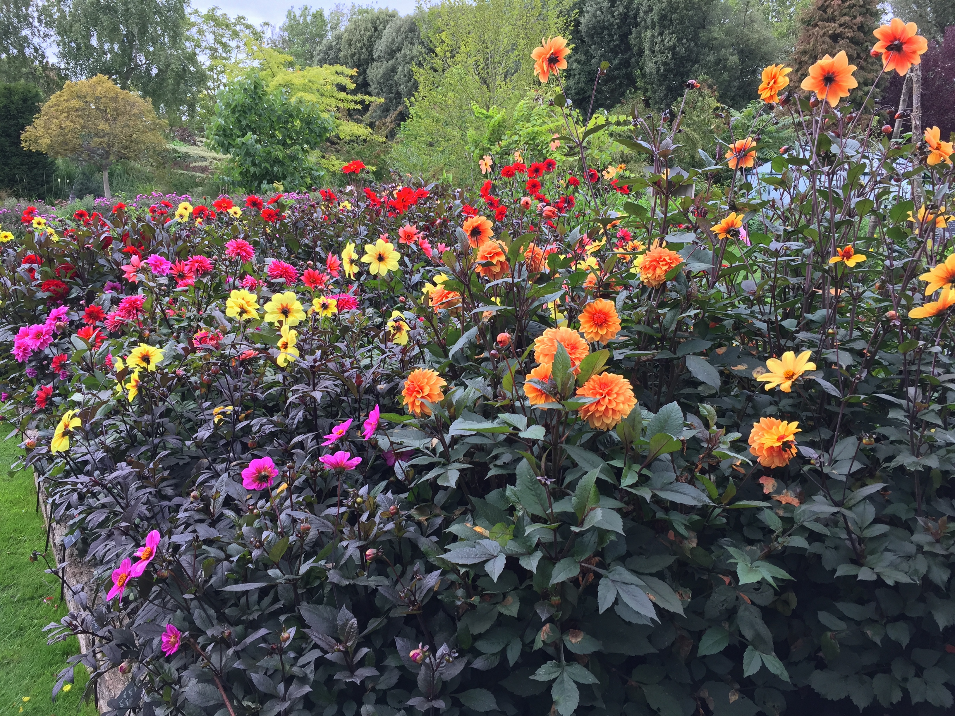 dahlia week tips from the top – the frustrated gardener