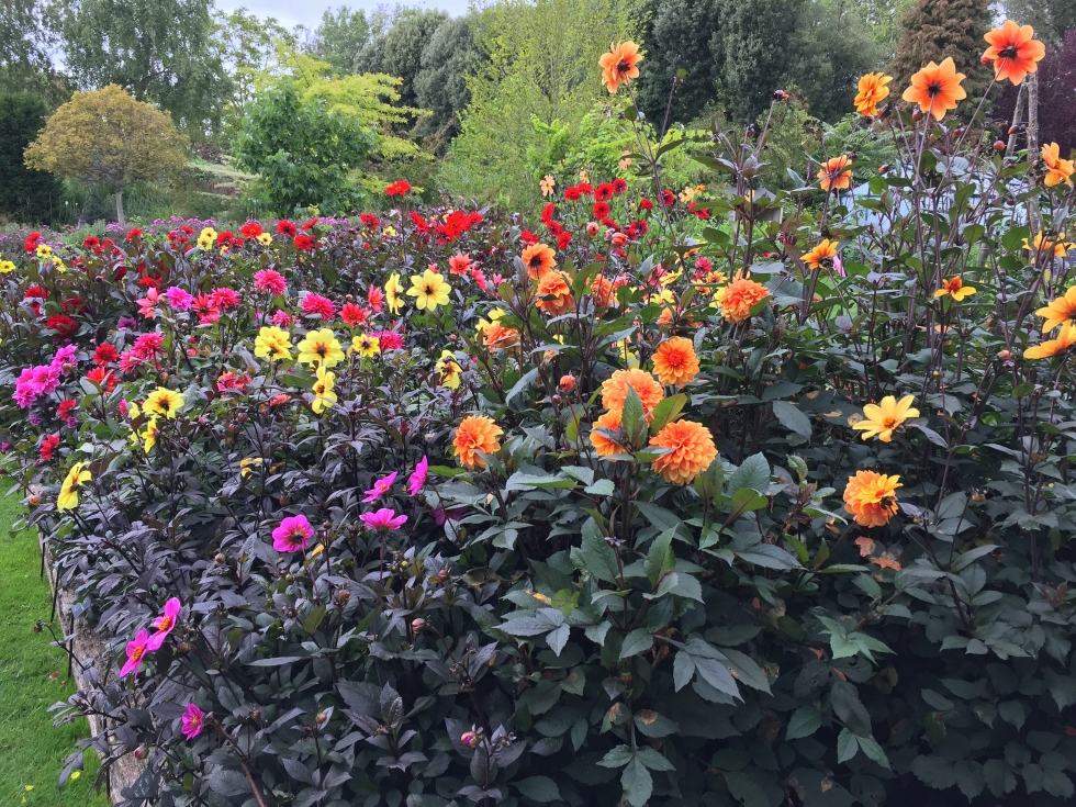 The dark-leaved dahlia trial demonstrates some startling contrasts
