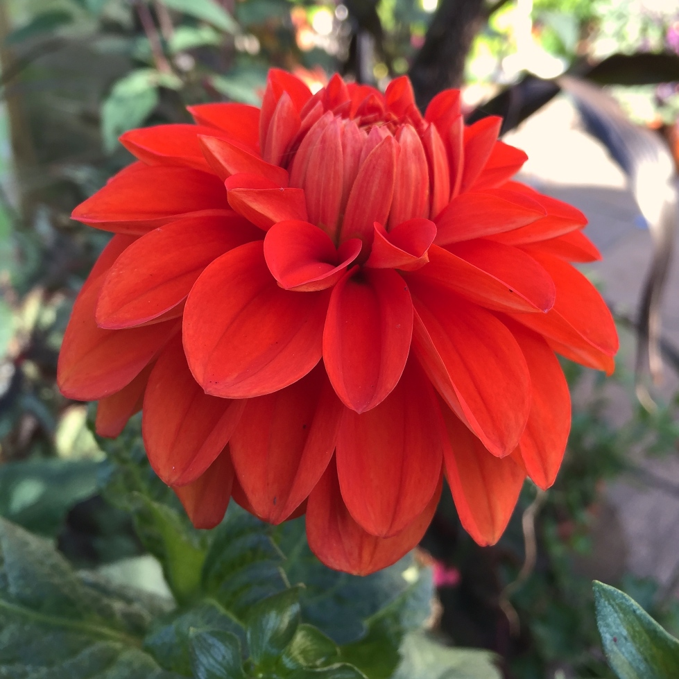 Dahlia 'Happy Halloween', Polegate Cottage, September 2015