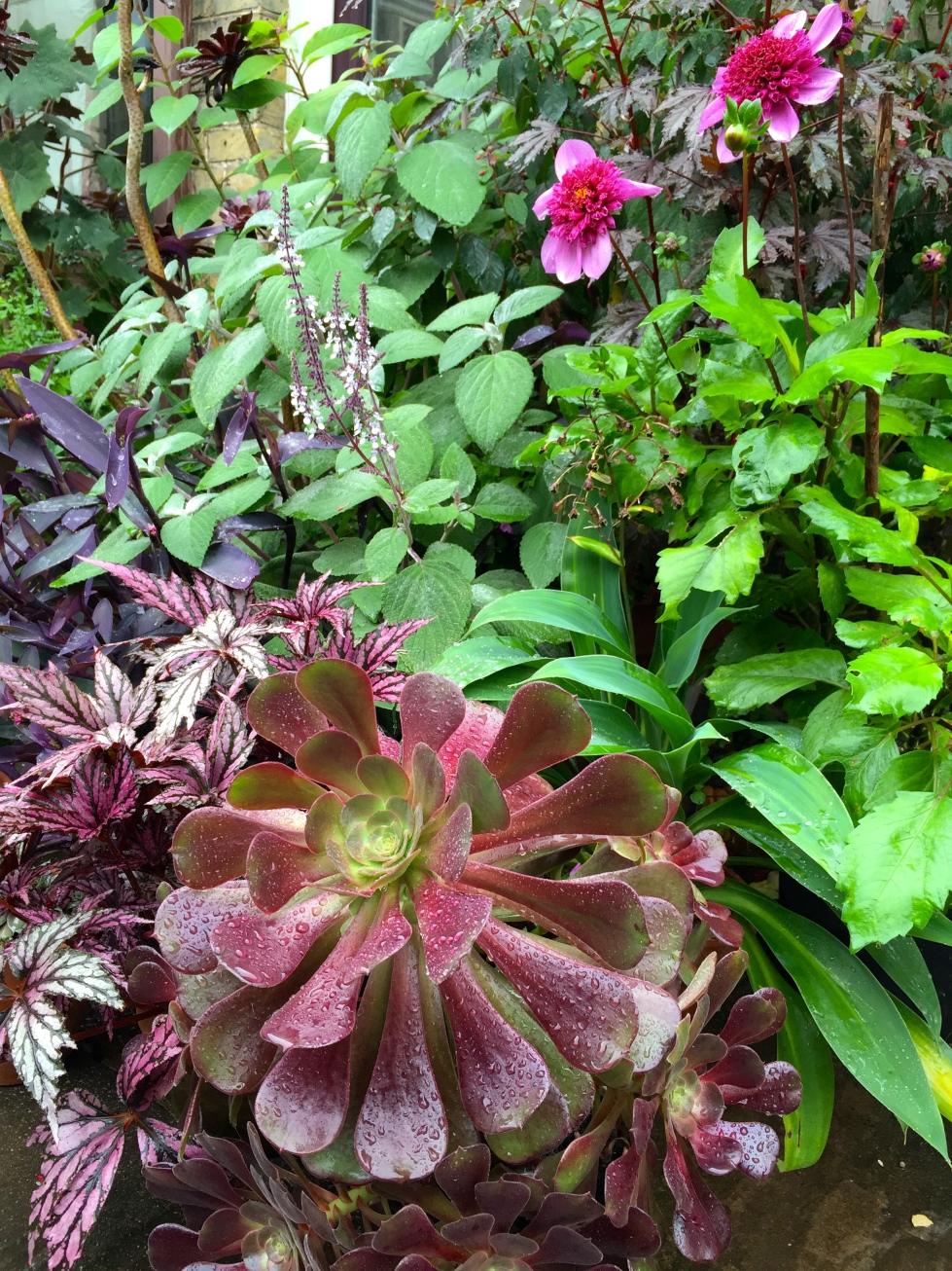 In the foreground, Aeonium 'Velour' which started out as a plant no bigger than the palm of my hand