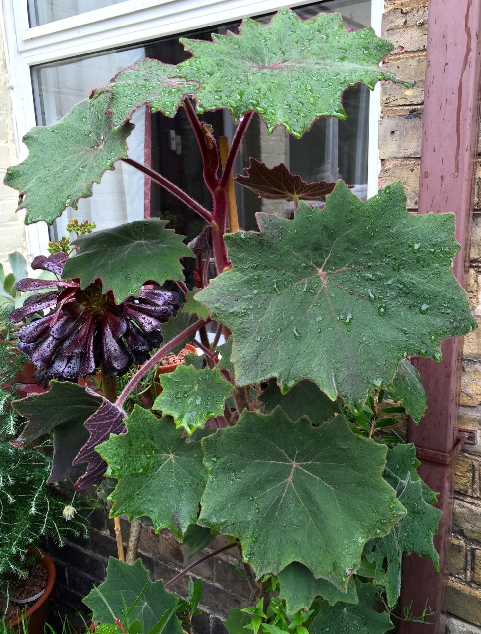 Senecio cristobalensis just grows and grows and grows....