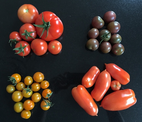Tomatoes 'Elegance', 'Black Cherry', 'Orange Paruche' and 'Giulietta', London, September 2015