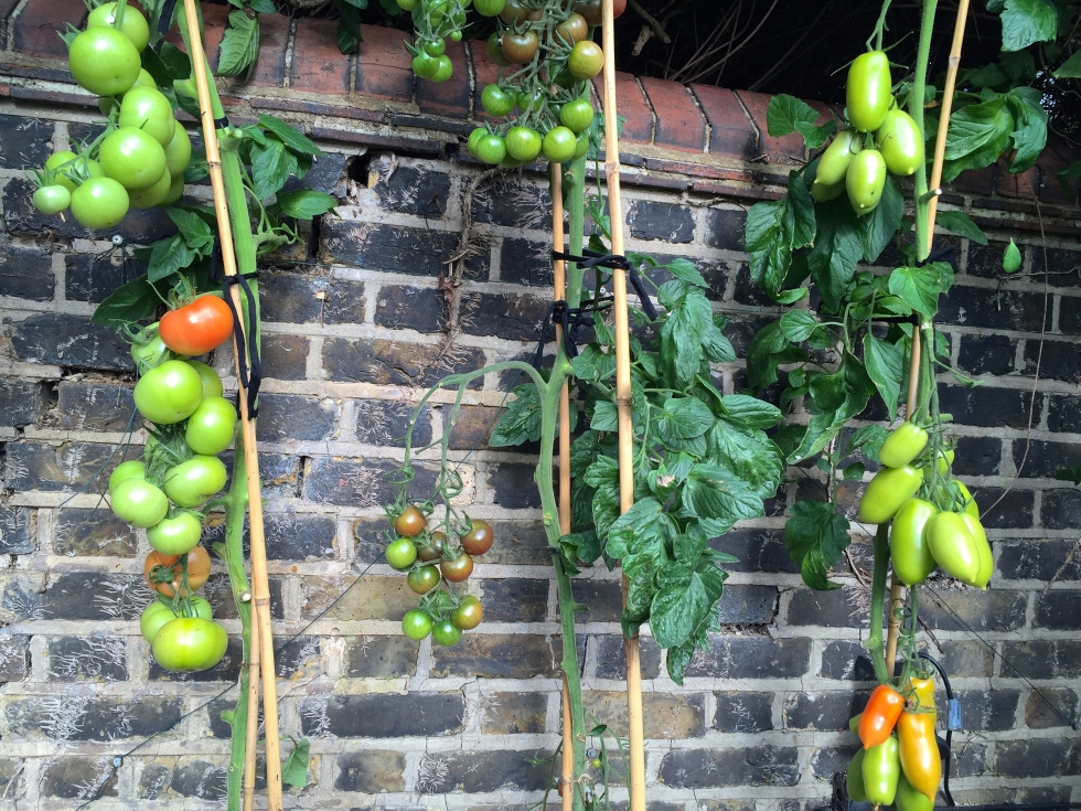 Removing foliage on cordon tomatoes helps the fruit to ripen faster