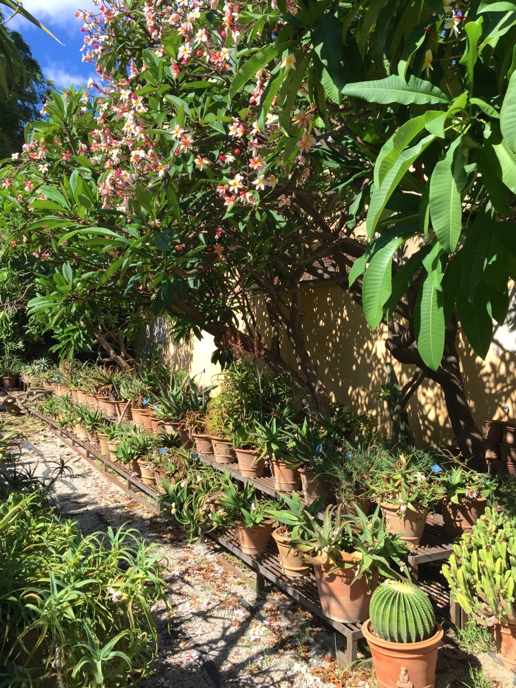 Succulents displayed in the shade of Frangipani trees