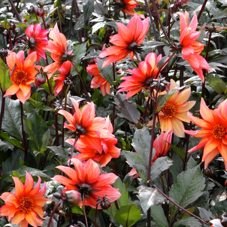 Dahlia 'Waltzing Matilda', The Salutation, September 2015