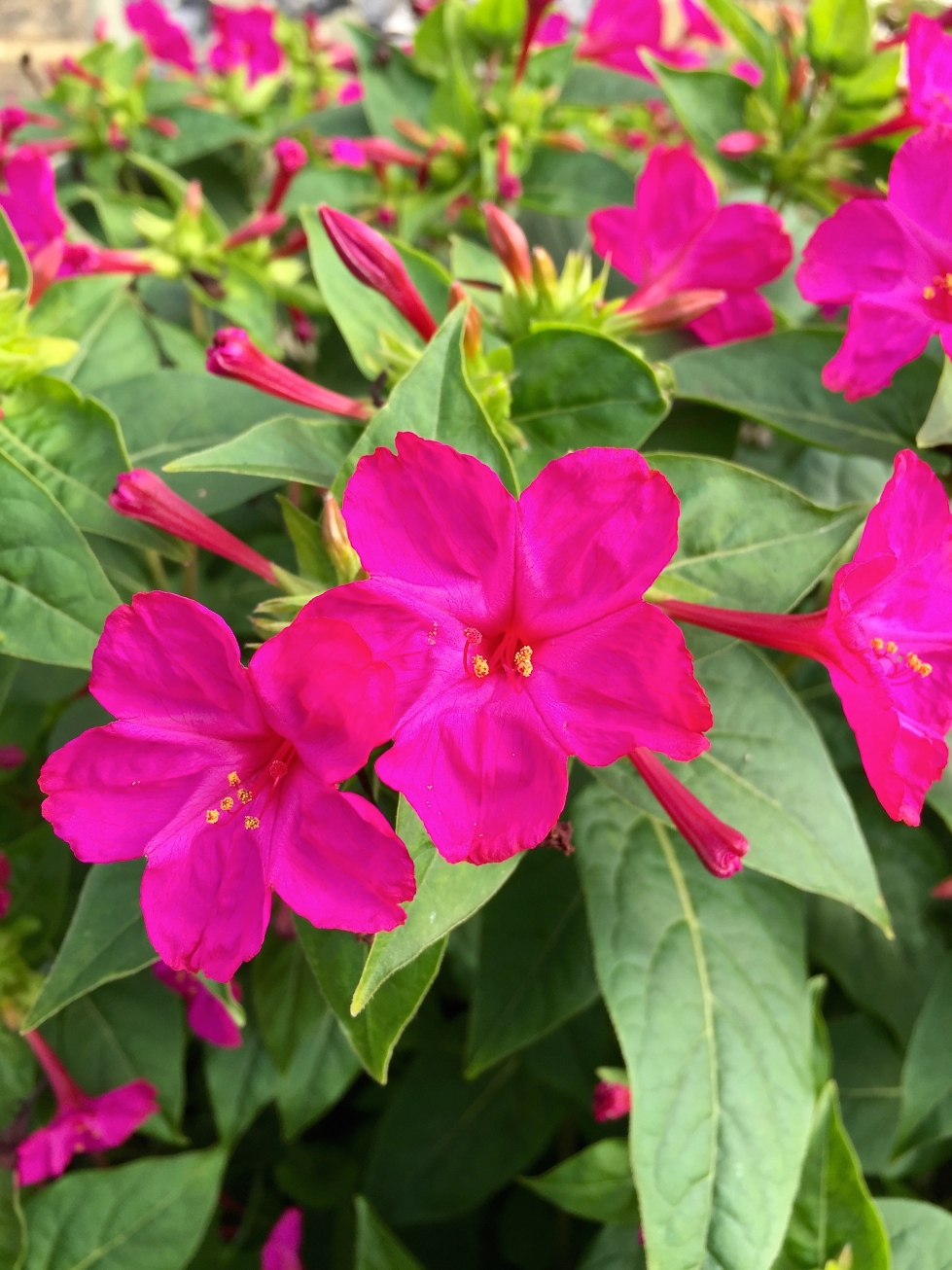 Mirabilis jalapa, Marvel of Peru, October 2015