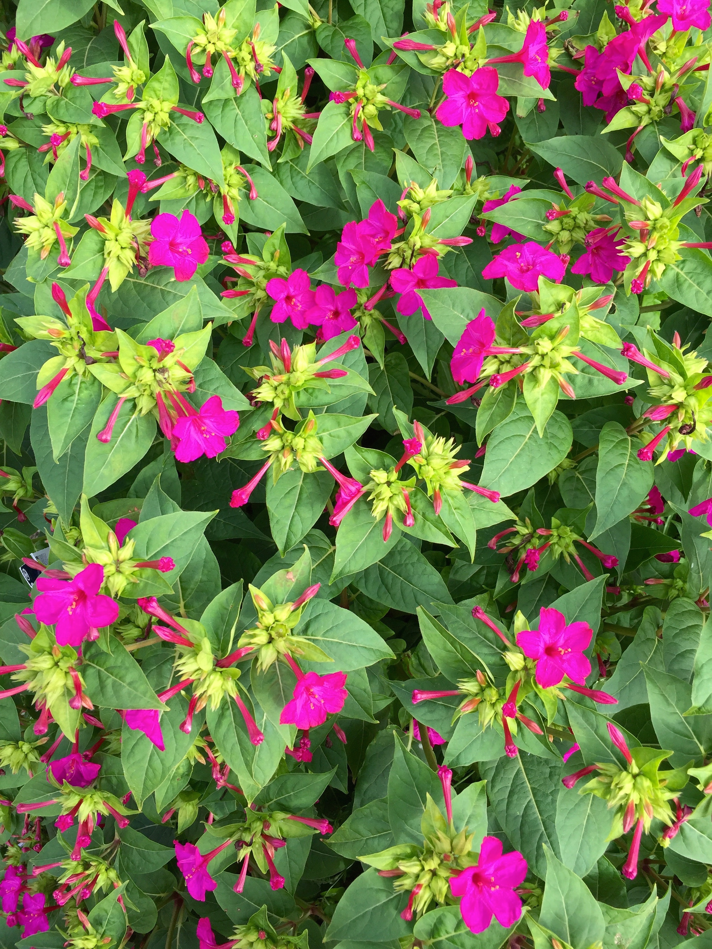 Daily Flower Candy Mirabilis Jalapa The Frustrated Gardener
