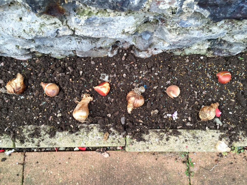 My bulbs will enjoy the warm, well drained soil at the foot of a wall