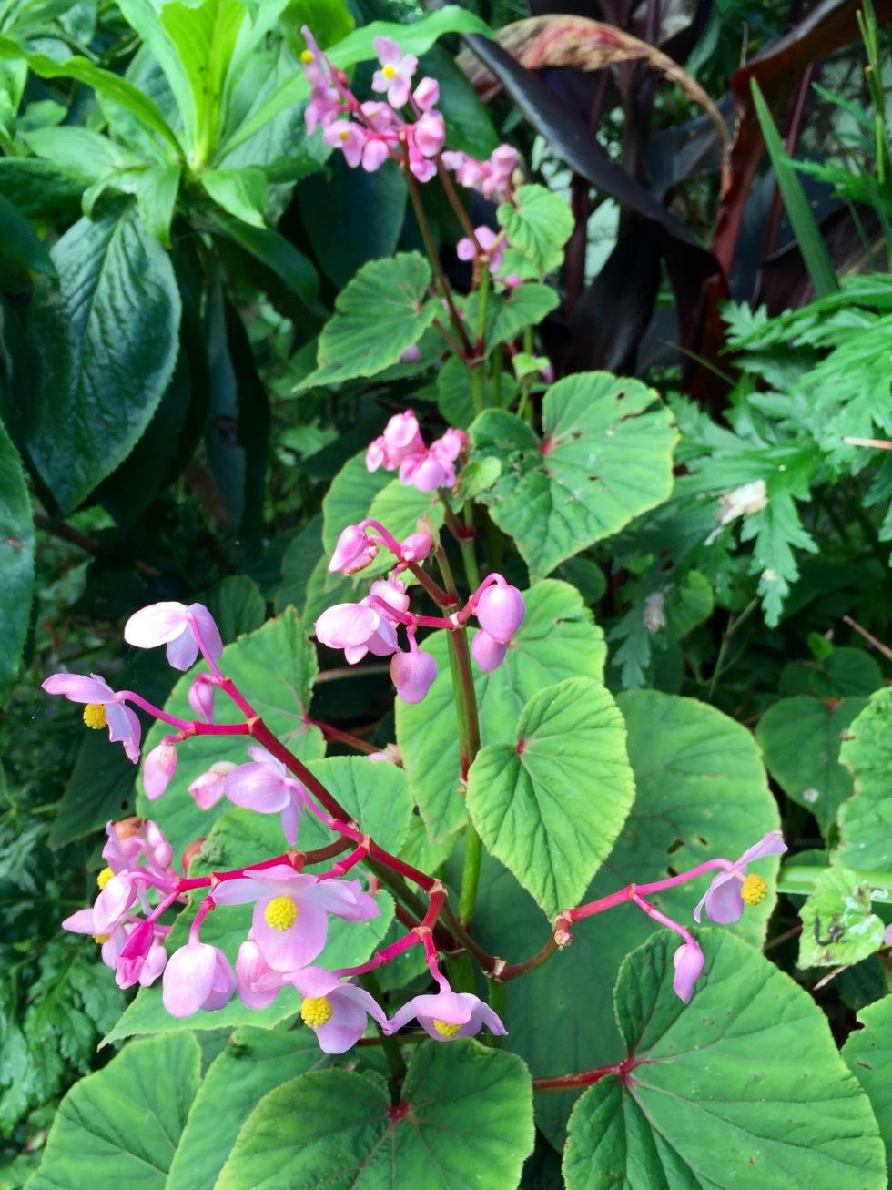Pink confetti: Begonia grandis subsp. evansiana 'Rosea'