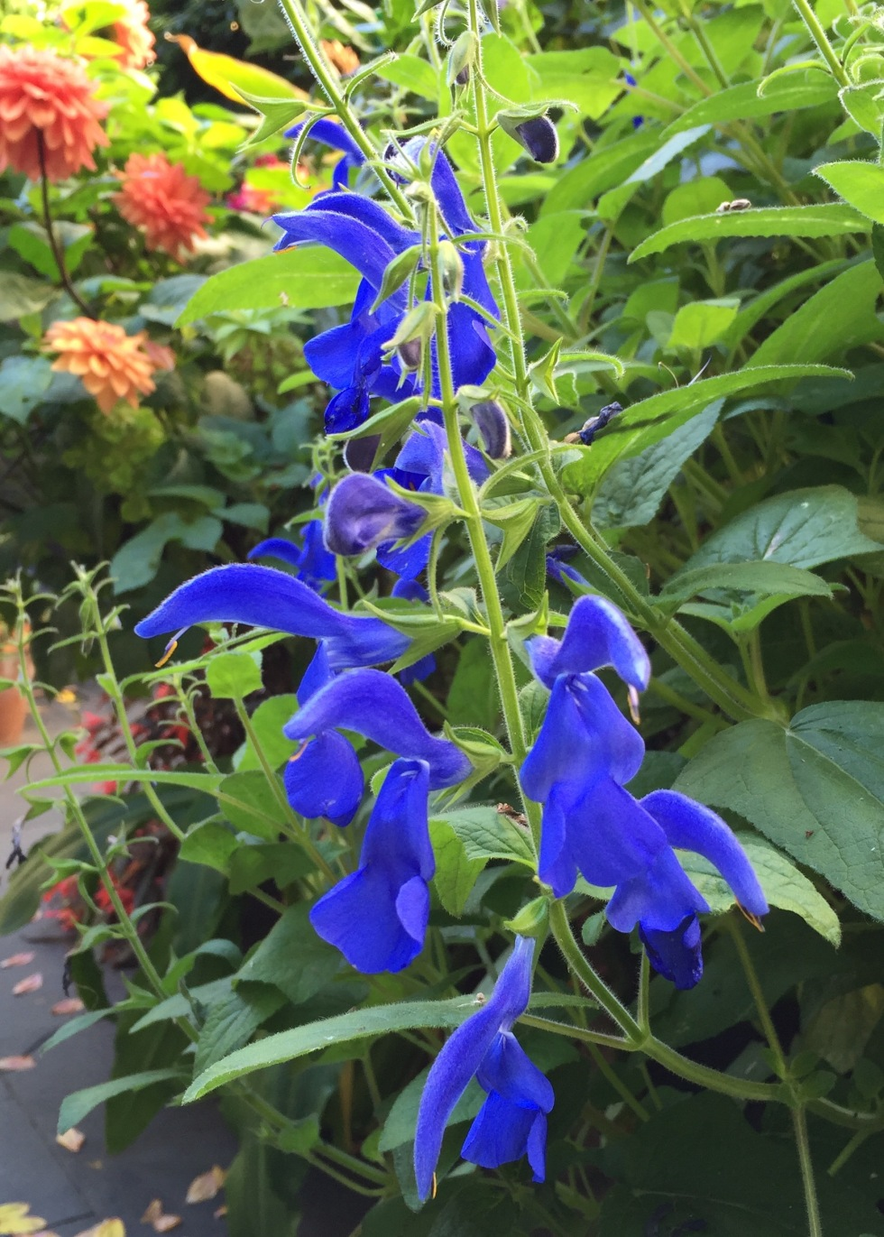 True blue Salvia patens