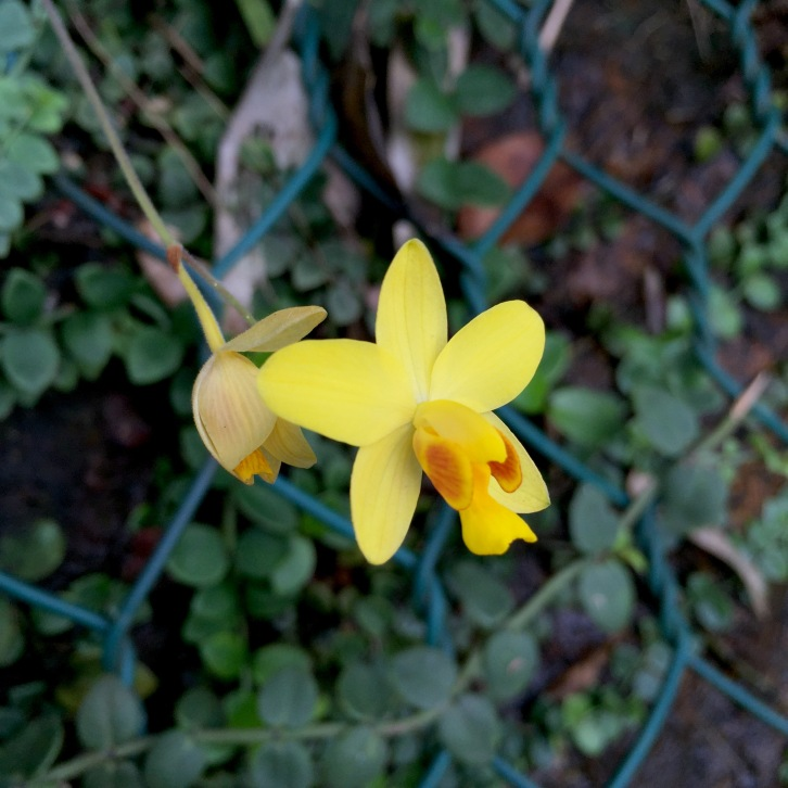 A tiny yellow orchid, name unknown, springs from a rock face