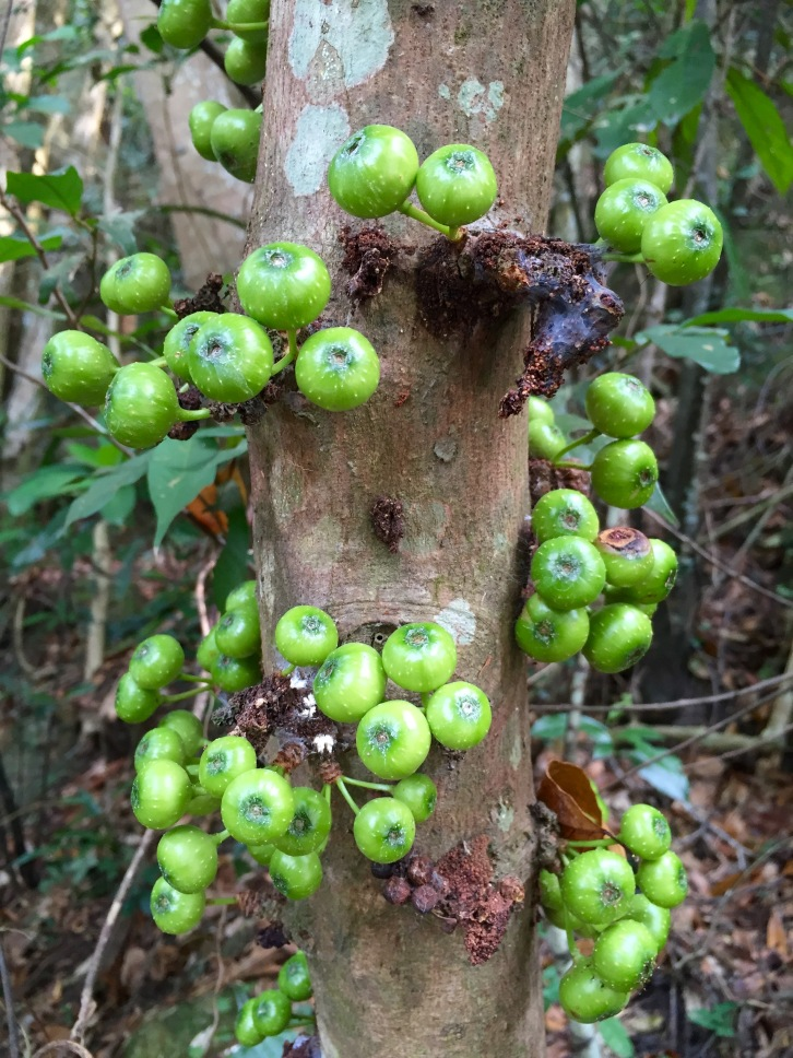 Could these fruits belong to Plinia cauliflora, also known as Jabuticaba and Brazilian grape tree