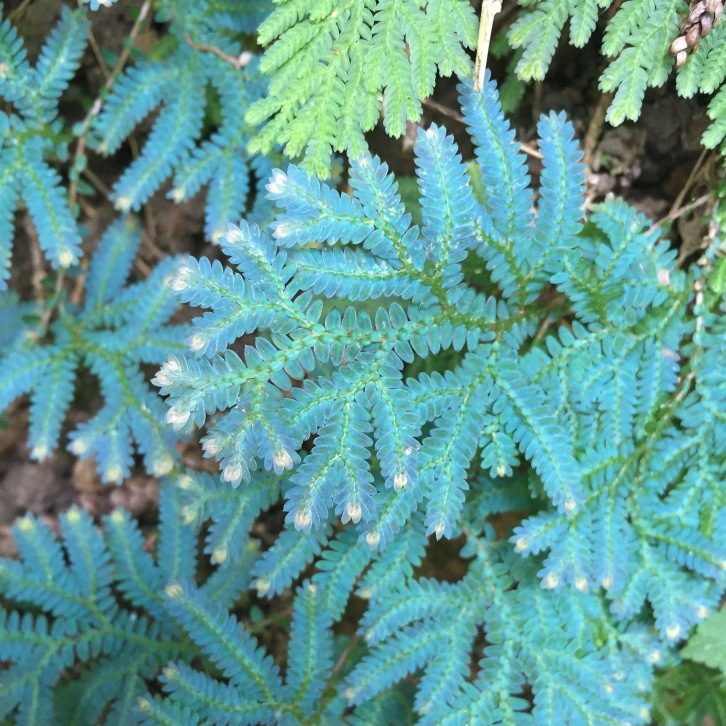 Ferns and spike mosses flourish in the cool, misty microclimate of The Peak