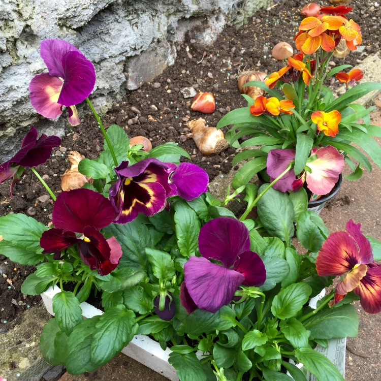 Pansy 'Matrix Sangria' and Wallflower 'Sugar Rush Bronze'