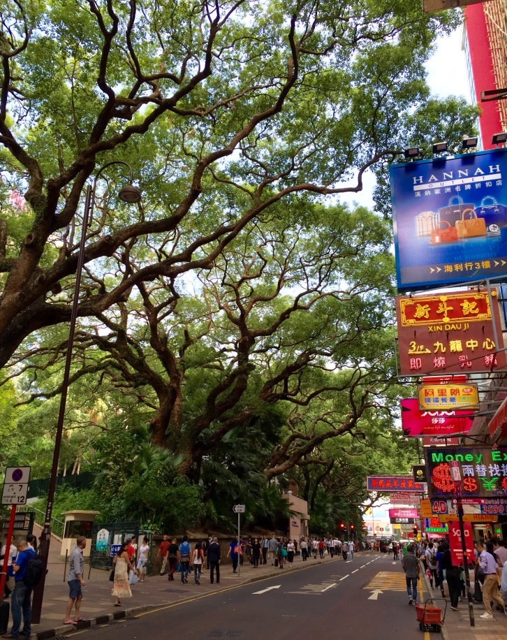 The spreading branches of mighty camphor trees (Cinnamomum camphora) on the boundary of Kowloon Park create a canopy over bustling Haiphong Road