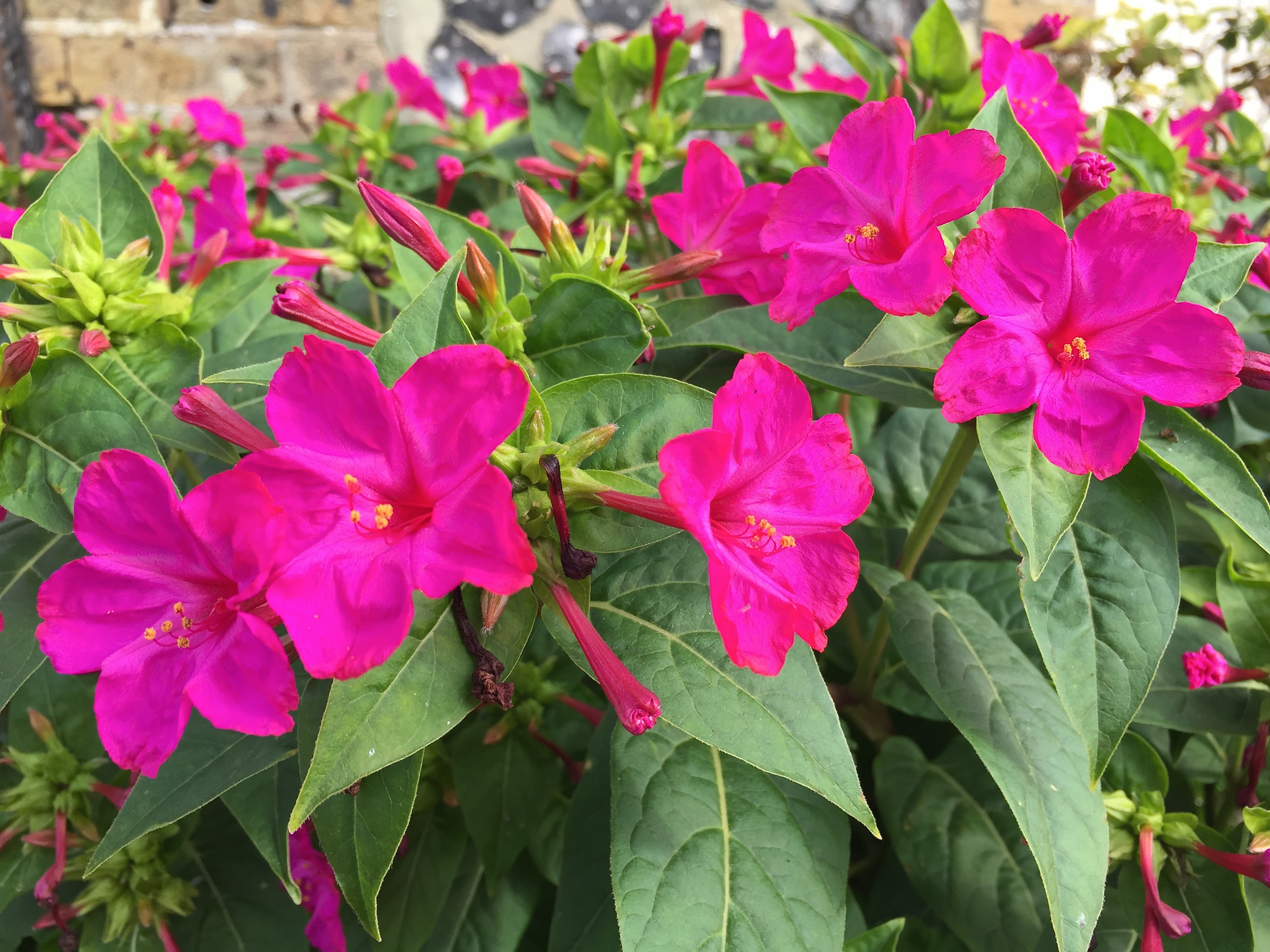 Mirabilis jalapa 'Limelight' | Log House Plants