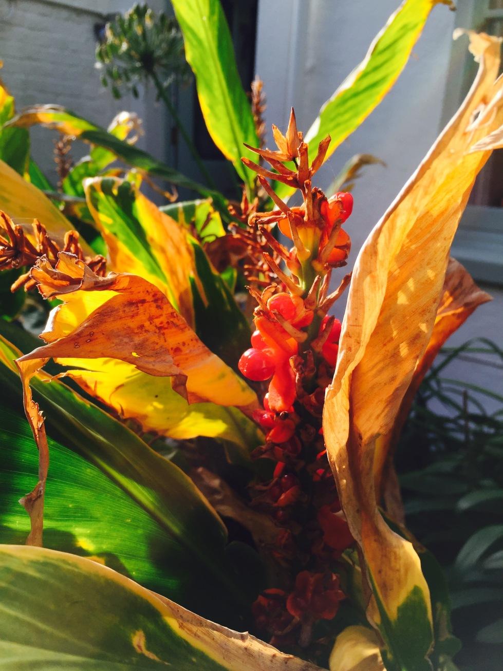 Hedychium 'Stephen' autumn colours, October 2015