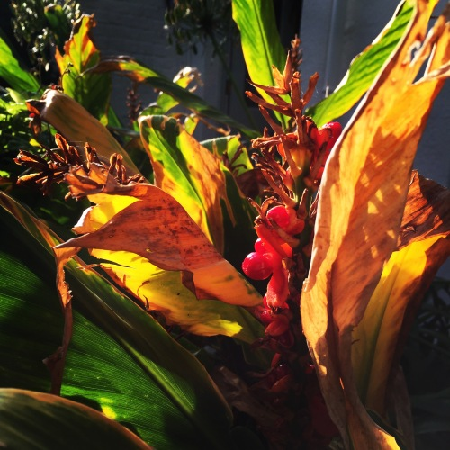 Hedychium 'Stephen' autumn colours, October 2015