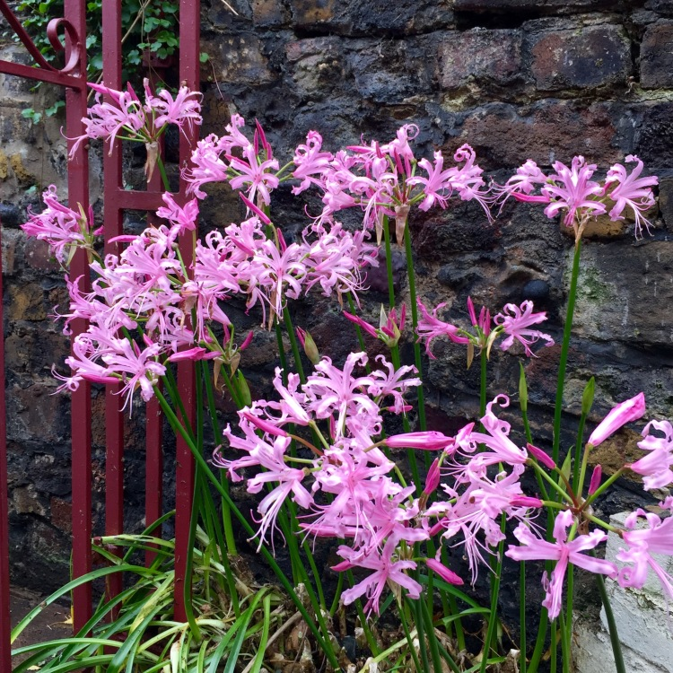 Nerine bowdenii stand guard at the garden gate