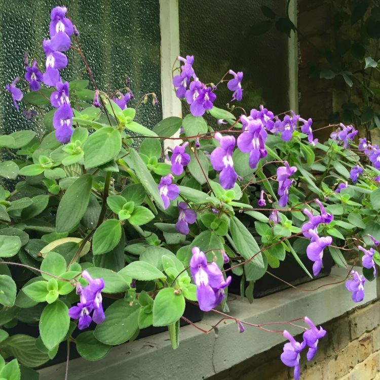 Streptocarpus, outside, in November? Wonders will never cease!