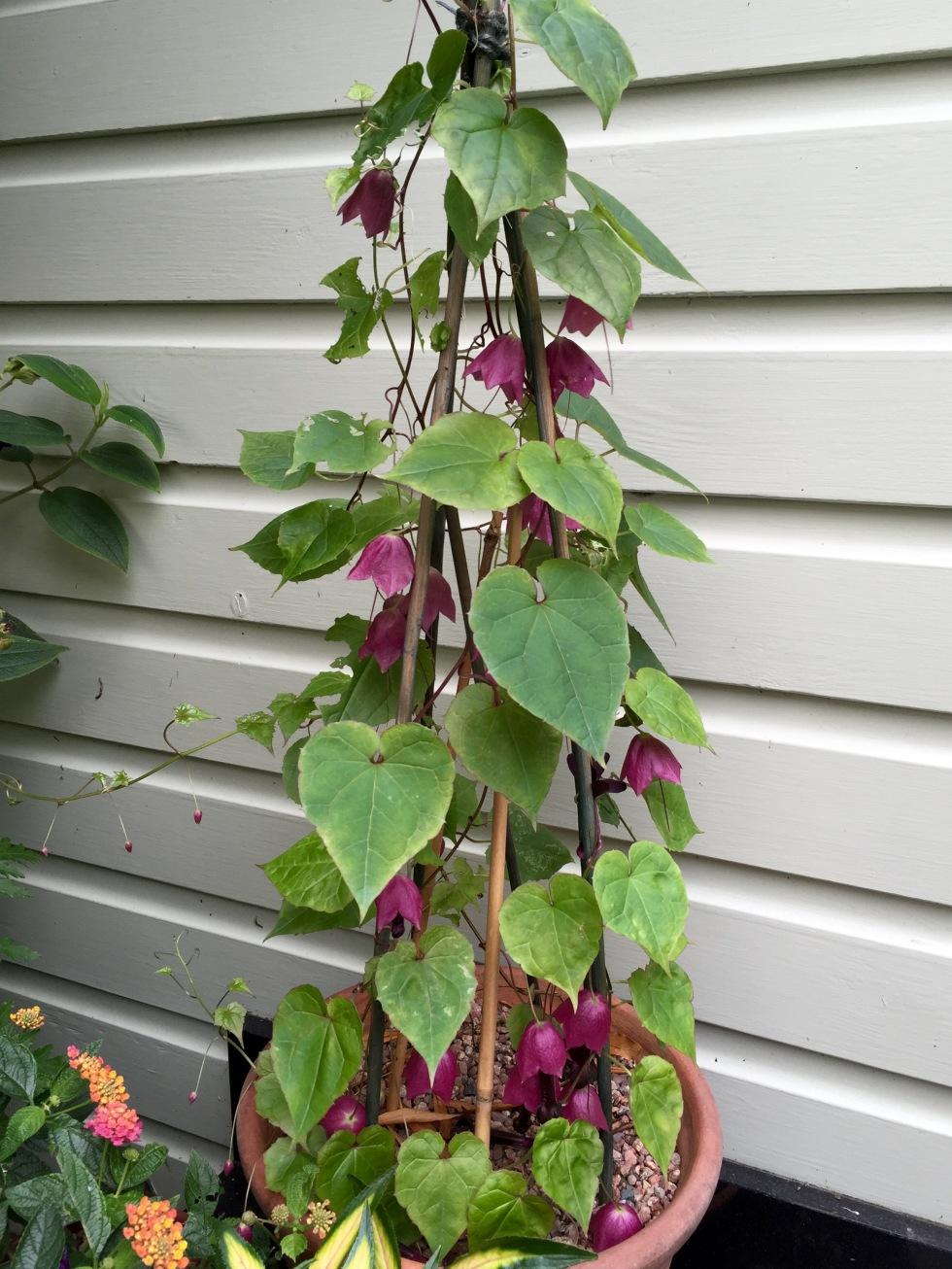 My purple bell vine still has plenty of energy