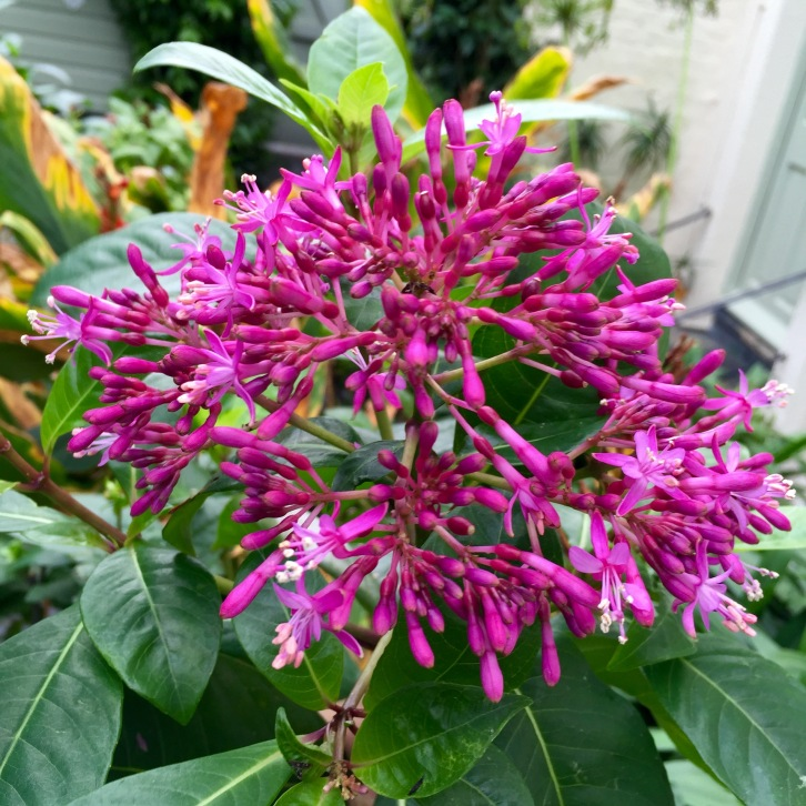 At the end of the season Fuchsia arborescens is 6ft tall