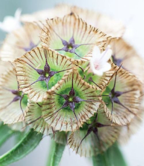 Scabiosa stellata 'Ping Pong' - seedhead, Chiltern Seeds
