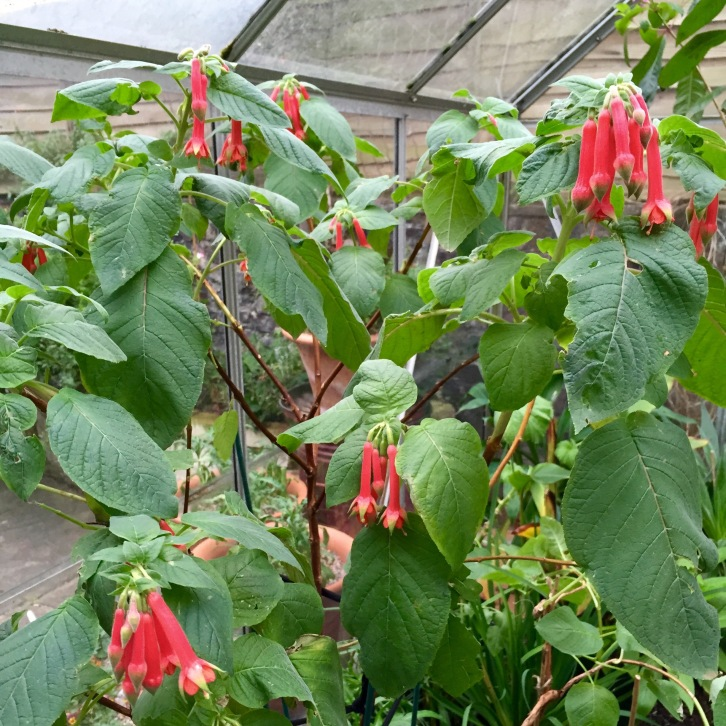 Fuchsia splendens, Polegate Cottage, November 2015