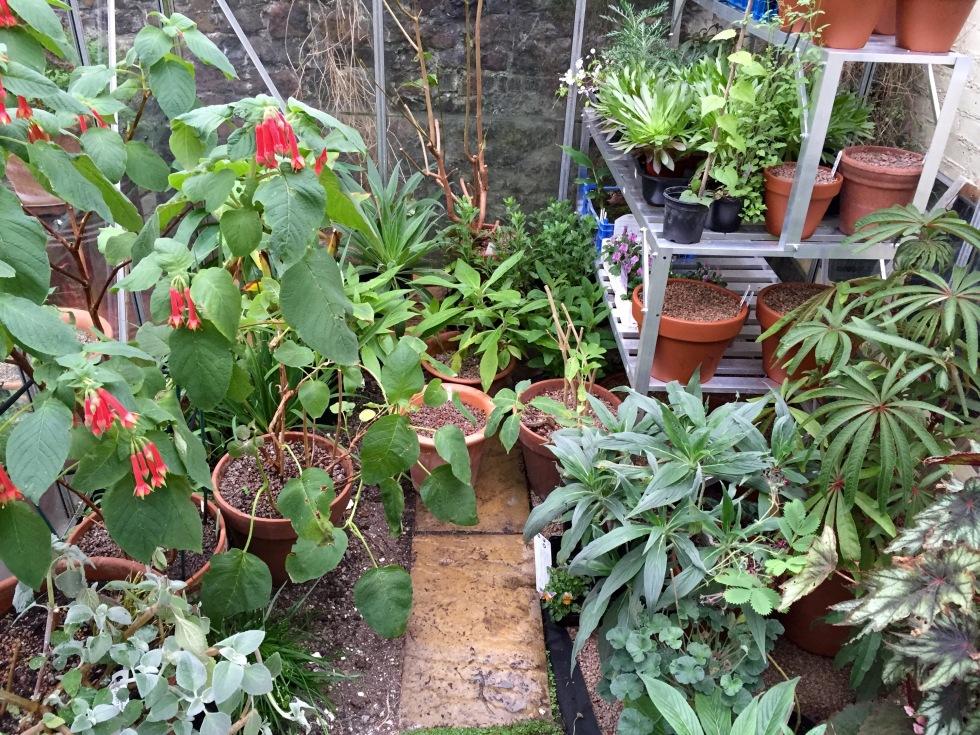 The greenhouse, Polegate Cottage, November 2015