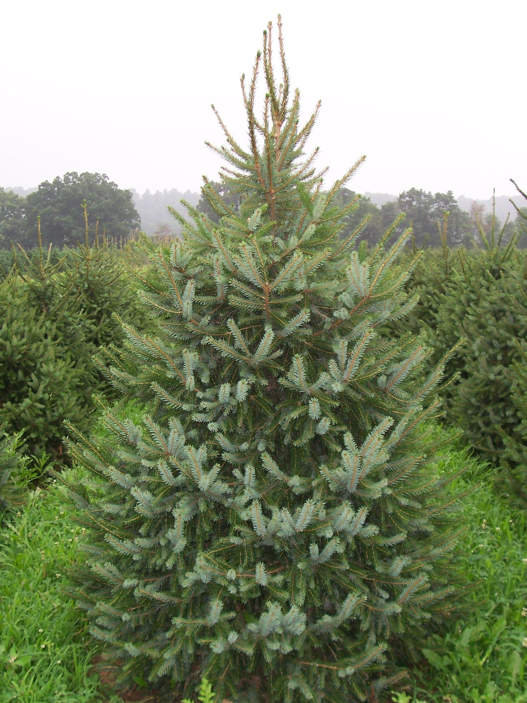 Top Tips For Choosing And Dressing Your Christmas Tree The Frustrated Gardener