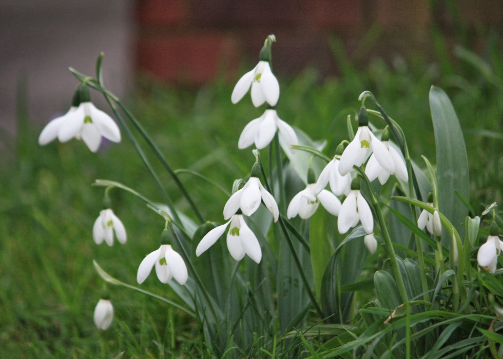 The first snowdrops of the winter started to bloom in December