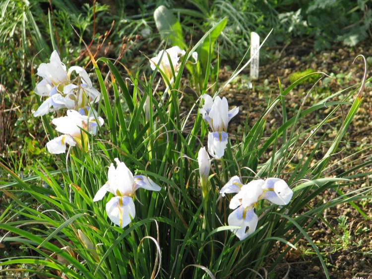 Iris unguicularis 'Peloponnese Snow' (image: Brighton Plants)