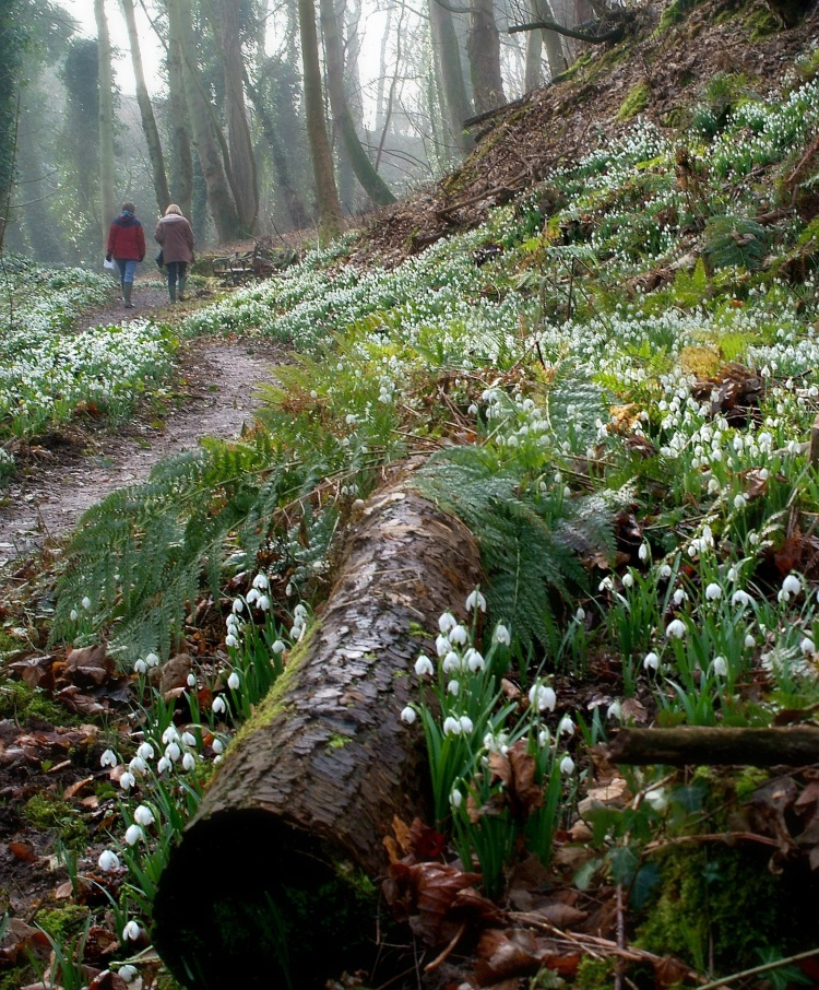 Snowdrops, Cambo, Scotland