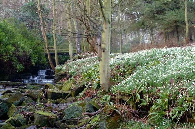 Native snowdrops, Galanthus nivalis, enjoy ground that remains moist, but not wet, all year
