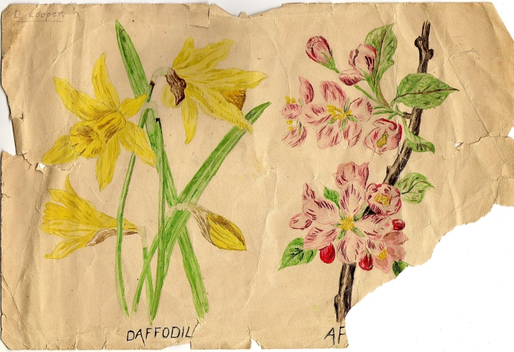 Grandpa Cooper's Sketches, Daffodil and Apple, 1930s