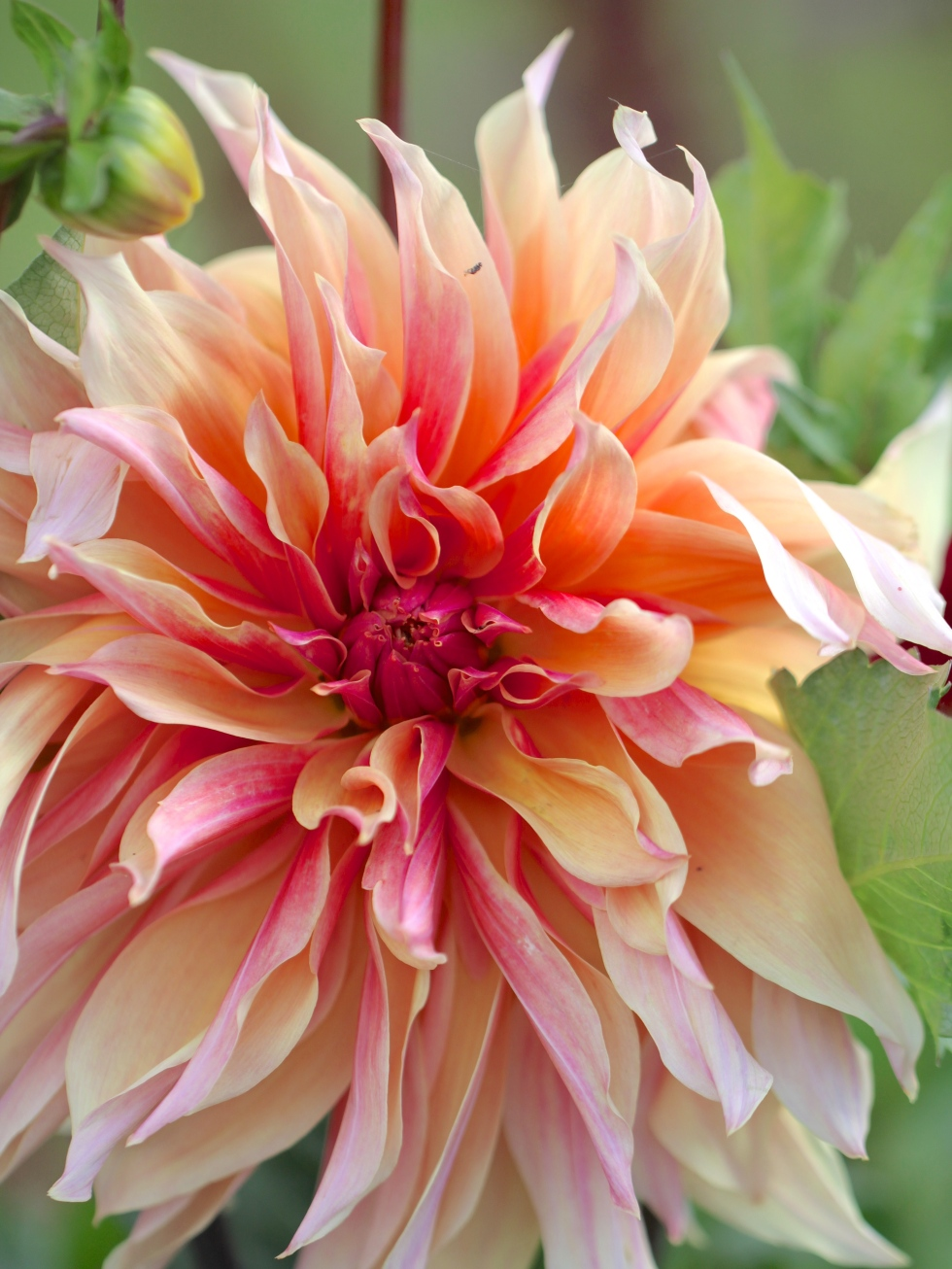 Dahlia 'Labyrinth' (Photo: Peonies and Posies)