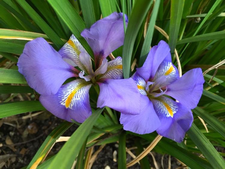 Iris Unguicularis, Chelsea Physic Garden